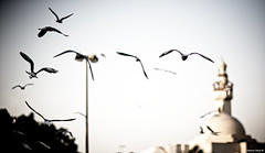 On The Nature Of Daylight | 142.365 (Stephan Geyer) Tags: sunset birds canon flying wings dubai dof bokeh 85mm mosque 5d canon5d canoneos5d project365 8512 85l ef85mmf12lusm canon5dclassic