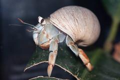 Charlie the house crab (Eyesplash - Summer was a blast, for 6 million view) Tags: house macro closeup hermitcrab tank shell crab vancouveraquarium shotthroughglass ecuadoriancrab anawesomeshot vosplusbellesphotos copyrighteyesplash2009 berbardlhermite highestexplore47