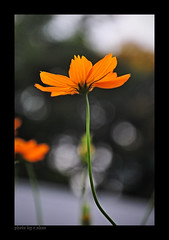 In heaven's rendezvous! (e.nhan) Tags: enhan yellow spring light landscape nature flowers flower dof cosmos closeup colorful colours bokeh backlighting arts art