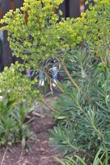 EUPHORBIA characias ssp. wulfenii 'Thelma's Giant'