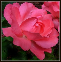 Plaisir des yeux ...rose rose ...comme la vie...