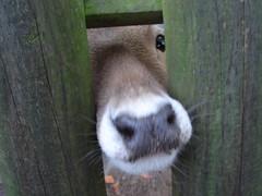 Bambi (Femke Utr) Tags: bambi rhenen ouwehandsdierenpark