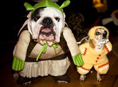 If The Shoe Fits (tappit_01) Tags: dog chihuahua dogs halloween bulldog puck englishbulldog bully porter impressedbeauty isawyoufirst