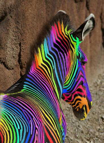 An  Extreemely Rare Rainbow Zebra