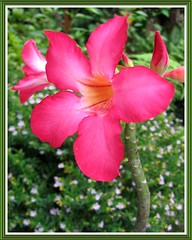 Our potted Adenium obesum (Desert Rose) in bloom, December 2007