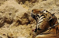 I am tiger, hear me roar