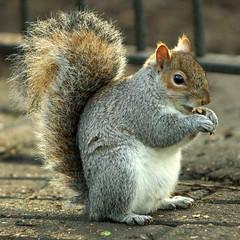 Squirrel (grahambrown1965) Tags: sussex squirrel brighton pentax hove sigma eastsussex 70200mm aficionados naturesfinest golddragon k10d pentaxk10d diamondclassphotographer flickrdiamond ilovemypic stanneswellgarden justpentax goldstaraward 70200mmf28exdg