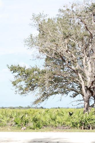 kissimmee prairie state park 1-12-08 006