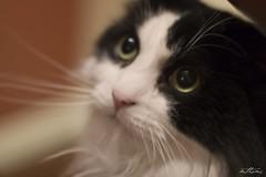Windows to his soul (Kadacat (Marlene)) Tags: cat feline scratch blueribbonwinner anawesomeshot impressedbeauty kadacat