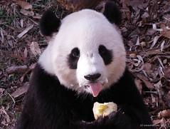 Mmmmm Mmmm good (somesai) Tags: animal animals smithsonian panda endangered giantpanda pandas giantpandas lmaoanimalphotoaward