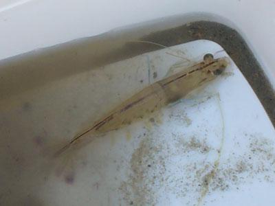 Shrimp-P1060589