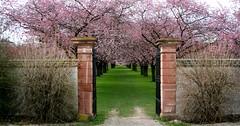 zierkirschen_13-100308 (siggi2234) Tags: märz frühling schlossgarten schwetzingen moschee kirschblüten zierkirschen shwotan siggi2234 siegfriedhuebner kirschblüüten