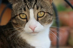 Tabby (guym05) Tags: summer pet beauty yellow cat frank photo fantastic eyes focus warm pretty afternoon sad tabby sunday adorable kitty australia photograph stunning emotional delicate creature cutecat magnificent wiskers sute guymiddleton ornerycats guym05