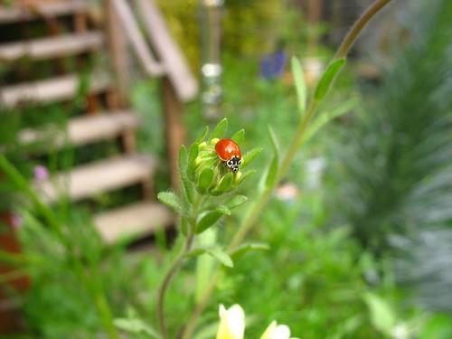 Ladybug on Layia platyglossa