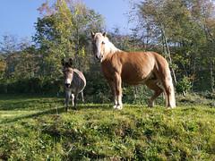...mein Kumpel muss auch noch drauf (santasapina) Tags: tiere pferd esel
