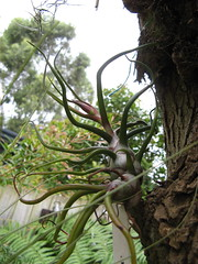 Tillandsia bulbosa (cskk) Tags: tillandsia bromeliad bromeliaceae bulbosa