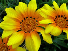 Gazanias in the neighborhood. (JannK) Tags: flowers southerncalifornia ems excellence inlandempire gazanias naturesfinest goldenglobe anawesomeshot aplusphoto diamondclassphotographer flickrdiamond floralappreciation flowerwatcher brillianteyejewel excellentsflowers ilovemypics natureselegantshots flowersarefabulous exquisiteflowers mimamorflowers qualitypixels