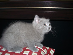 Un poco asustada (GloryGlory) Tags: blue azul cat kitty cachorro gata britishshorthair matilde gloryglory kissablekat