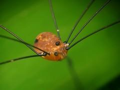 (Techuser) Tags: nature animal rainforest close arachnid invertebrate harvestman opilio specinsect parquedozizo
