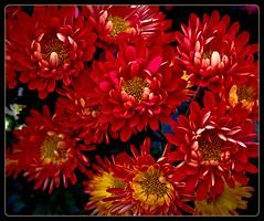 FLOWERS (EssjayNZ) Tags: gardens tag3 taggedout tag2 tag1 hamilton 2008 essjaynz taken2008 sarahmacmillan