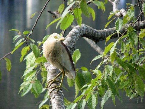 pond heron pose 230508