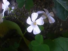 White (Elanorya) Tags: white flower nature foglie terra fiore bianco aria