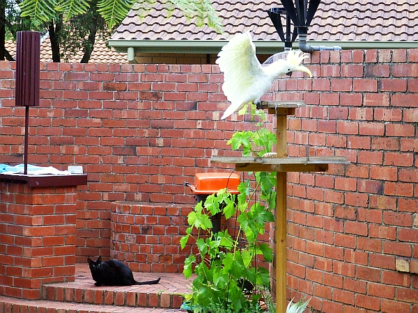 cockatoo and cat