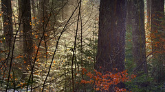 for a short time (flowerikka) Tags: beam sunbeam trees leaves forest sunrise winter nature wald