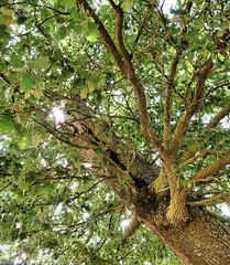 The thing (Quercia, oak) (RoLiXiA) Tags: sardegna trees parco oak sardinia thething sardaigne archeologia quercia nuraghi incuria roverella orroli neolitico anawesomeshot alberisecolari panasonicdmcfz28 parcosumotti