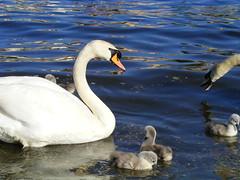 2011 314 PRAGUE (hedyelyakim) Tags: river swan prague prag praha cz vltava labut