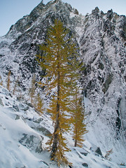 Larch tree on Aasgard Pass Enchantments 10/5/07