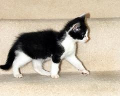 Kitten (Leannz0r) Tags: pet white black animal stairs cat fur kitten little walk fluffy kittens step meow paws aw leannz0r storybookwinner