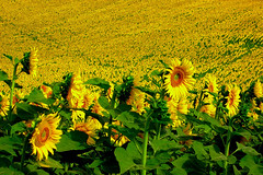 And you call this an original pic ? (skelter) Tags: sun flower nikon sunflower coolpix campo girasole girasoli 4300 nikonstunninggallery mywinners superaplus aplusphoto
