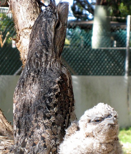 Tawny Frogmouth and chick in yard 9