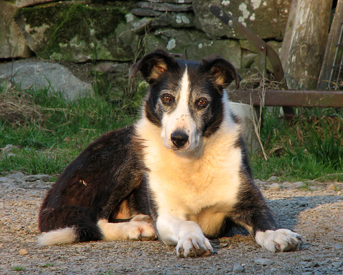 Old Welsh collie
