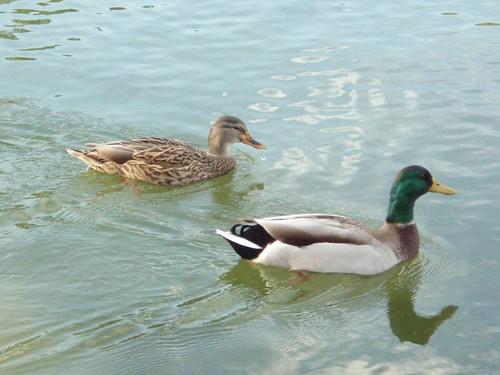 Washington Ducks