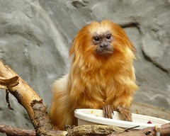 ~Golden Lion Tamarin~