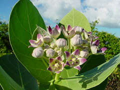 Calotropis procera Dryand. (cpf1) Tags: flower nature stjohn apocynaceae asclepiad calotropisprocera calotropis taxonomy:binomial=calotropisprocera