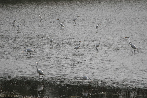 Egret Flock