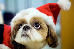 wan wan christmas! (* tathei *) Tags: santa christmas xmas dog pet cute home japan zeiss canon eos tokyo f14 shihtzu 5d claus dslr uta greeting zf utamaru 50mmt
