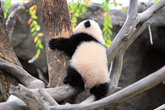 Learning to climb just like her big sister Su (kjdrill) Tags: china california bear usa baby white black zoo cub panda sandiego bears zhen zoomzoom yun pandas bai endangeredspecies zhenzhen zhennie 8741a