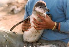 baby peruvian Humboldt penguin