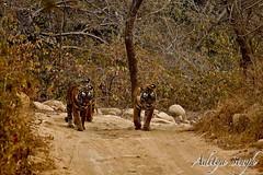21st Jan 2008 - 121 (dickysingh) Tags: india nature outdoor wildlife tiger bigcat aditya predator ranthambore singh bengaltiger ranthambhore dicky wildtiger adityasingh ranthamborebagh theranthambhorebagh wwwranthambhorecom