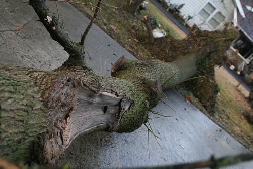 Fallen Mossy Tree