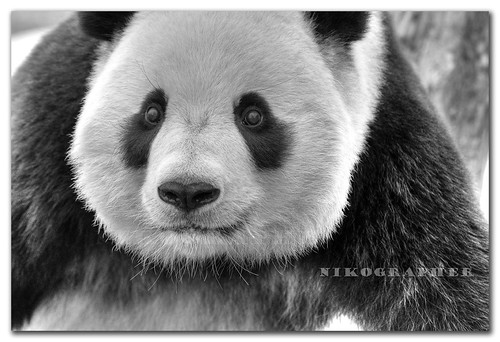 Tai Shan @ US National Zoo 2/17/2008