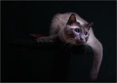 Jasper...relaxing (Pfotenblitzer) Tags: blue cat mix eyes jasper sony grau siamese blau augen siam gatto birma kater bluepoint abhngen alpha100 bestofcats