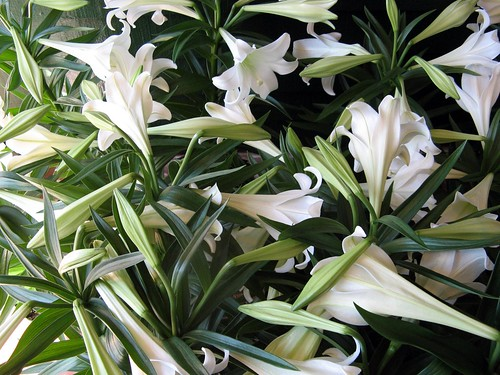 easter lillies