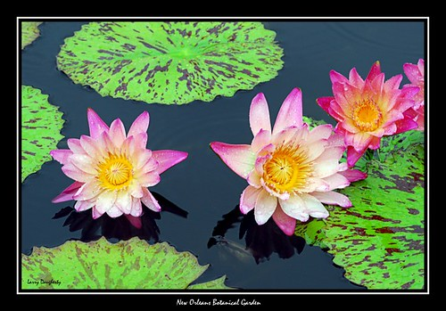 Water Lilies at the Botanical Garden