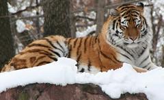 tiger (shea_colter) Tags: cat tiger bigcats
