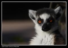 Lemur (Lemur catta) ( Pere Soler) Tags: supershot allrightsreserved specanimal animalkingdomelite mywinners braid44 peresoler